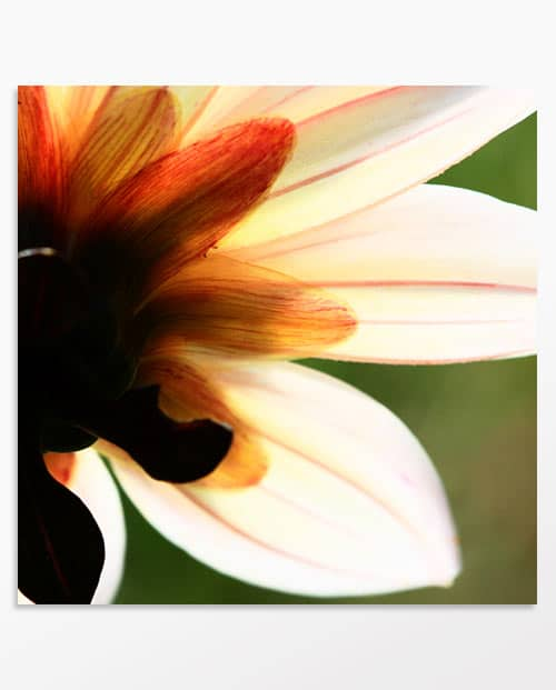 """tableau de fleur """"Transparence du dahlia"""" idée déco nature"""