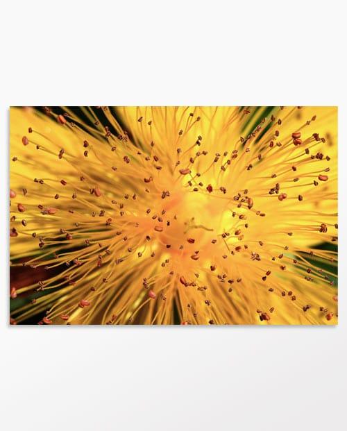 Millepertuis ensoleillé, photo de fleur