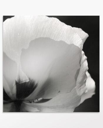 tableau coquelicot en noir et blanc